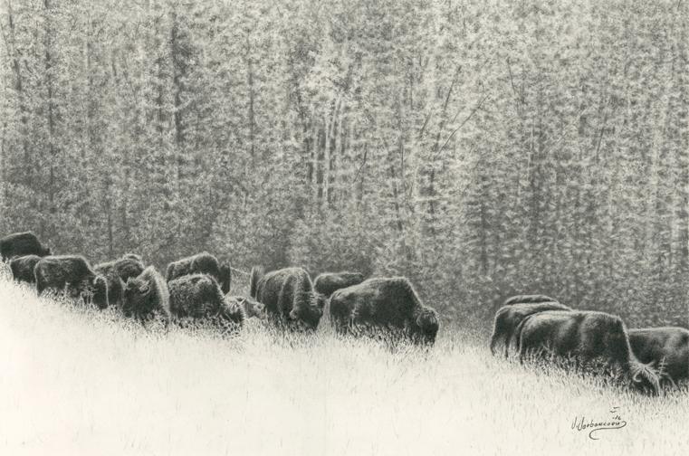 Herd-of-Bison